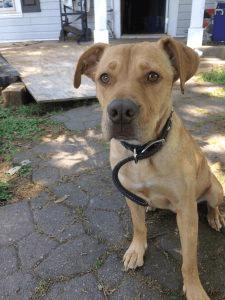 Cute Tan Rescue Dog at Ahimsa House