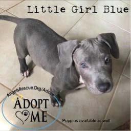Little Girl Blue adorable Pittbull