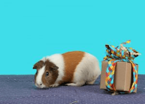Tan and White guinea pig