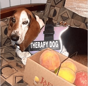 sweet bassett hound therapy dog