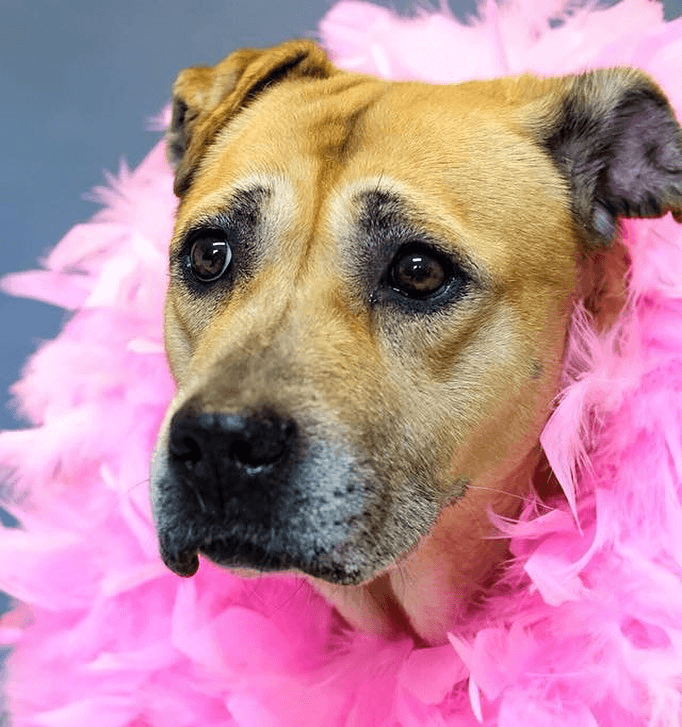 Adorable tan dog with pink boa