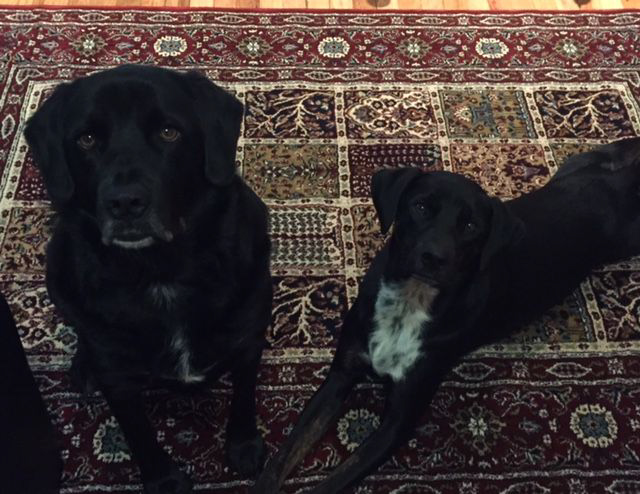 two black lab mix rescue dogs