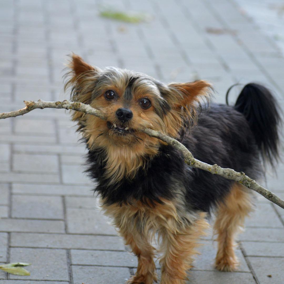 Big Stick Challenge yorkie dog carrying a stick