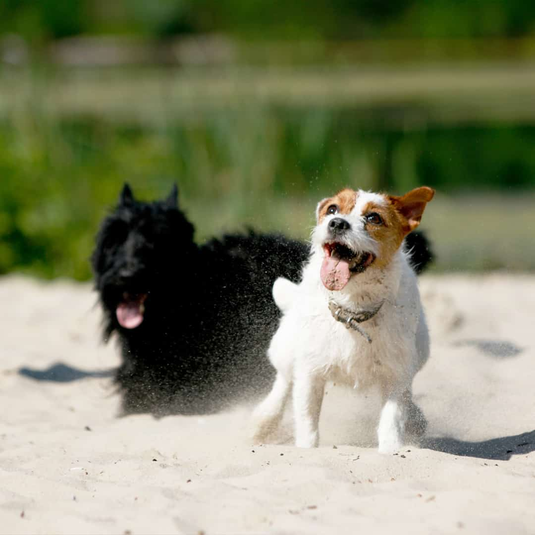 Caption That Miniature Schnauzer playing in the sand