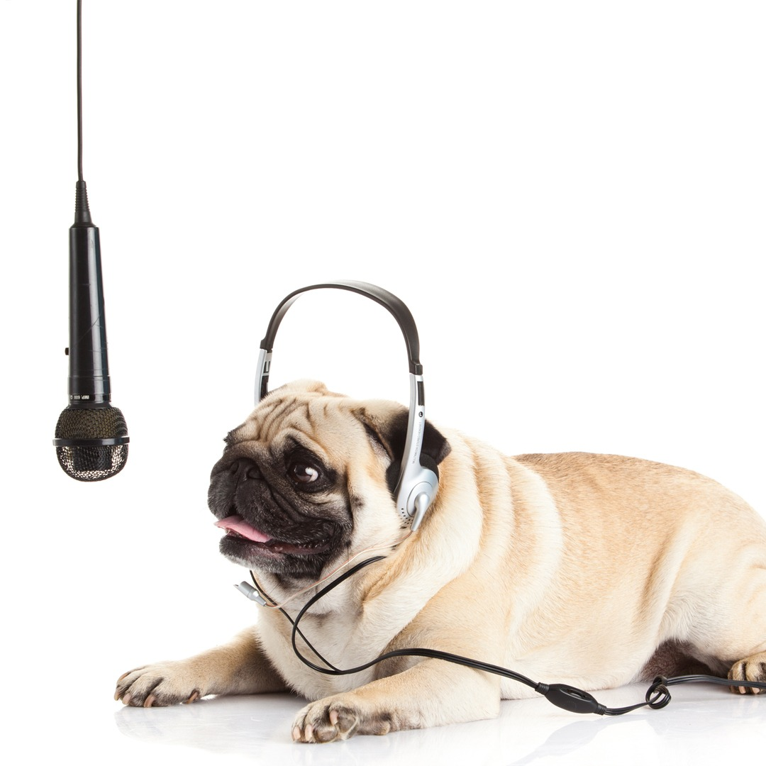 Give Them a Voice Challenge pug wearing a headset and microphone