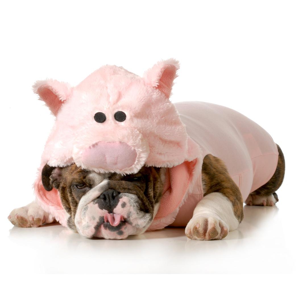 Howl O Ween Costume Challenge bulldog wearing a pig costume