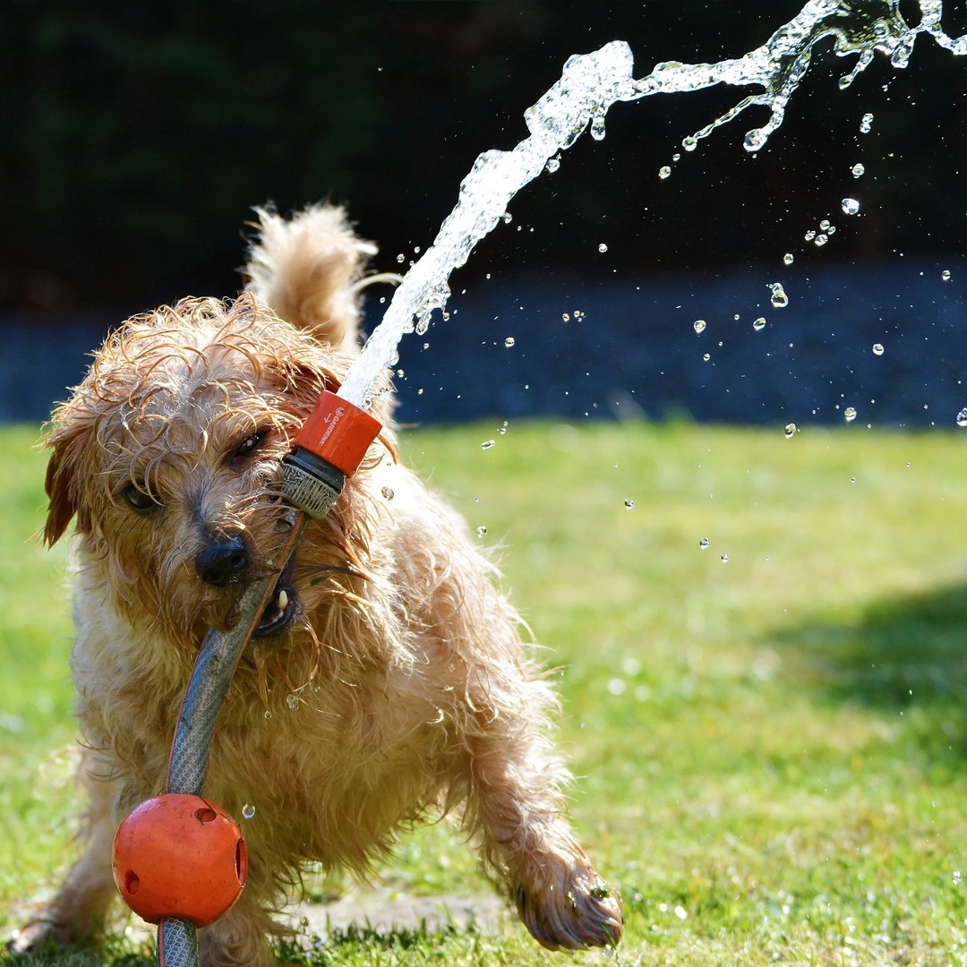 Play Time Challenge Shih Tzu Playing with water hose