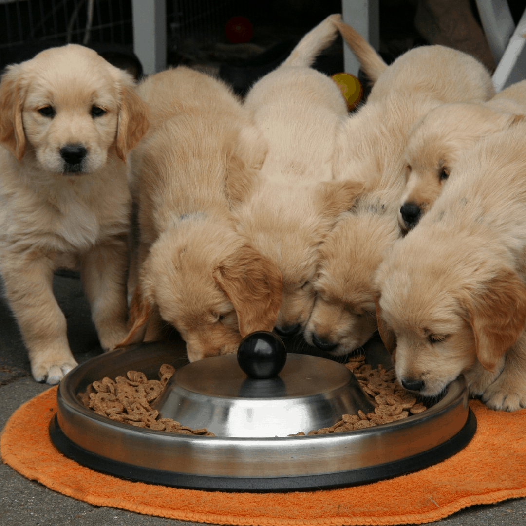Who eats faster challenge golden retriever puppies eating