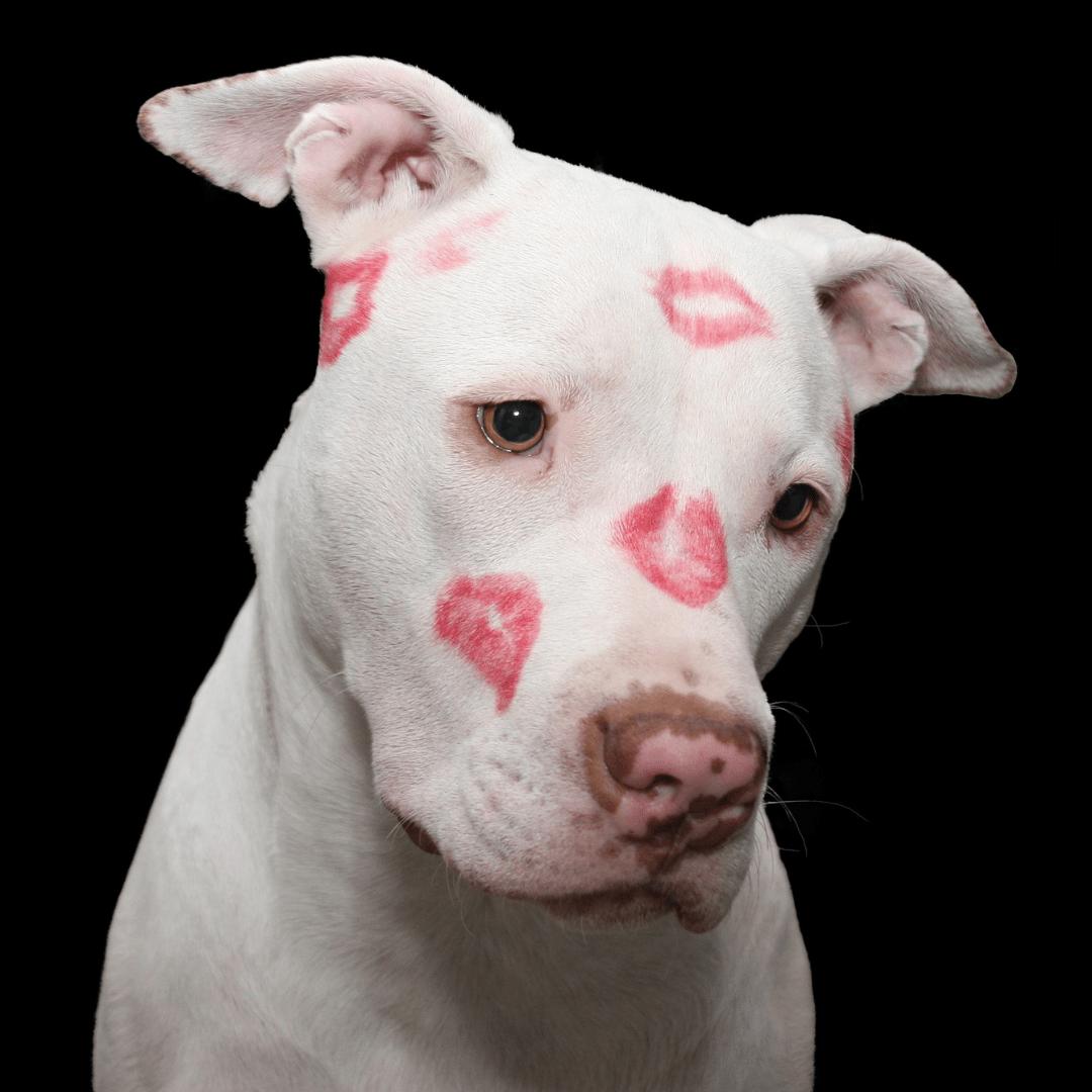 dog love challenge pitbull with kisses