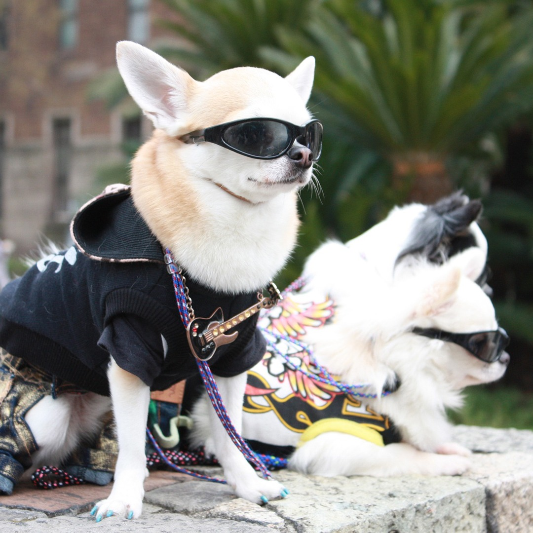 hippest pup challenge chihuahua wearing hippy dress and glasses